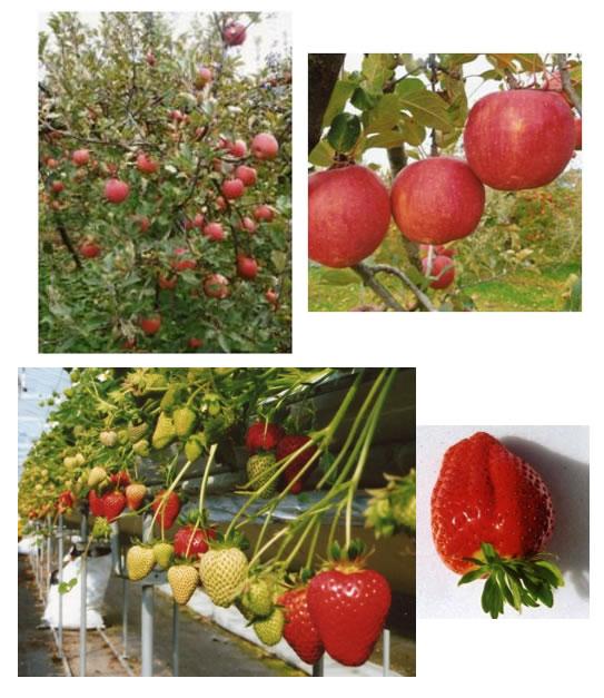Захарното съдържание на плодовете нараства с 1 до 8 градуса.
