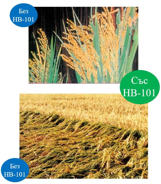Добивите от ориз се увеличават с 30 %.